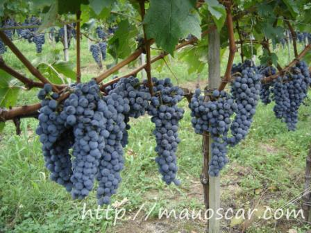 Grapes from Miolo Winery