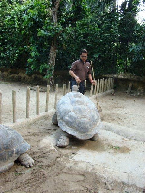 Tartaruga Galapagos no Zoo de Cingapura
