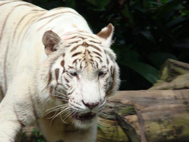 Tigre Albino