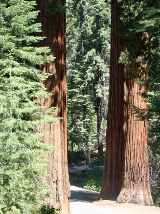 Floresta Sequoias Gigantes