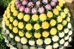 Longwood Gardens Crisantemo enxertado