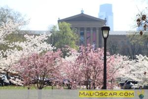 Cherry Blossom Philadelphia-Vista para o Philadelphia Art Museum
