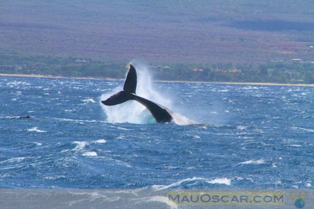 Baleias em Maui no Hawaii16