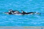 Dusky Dolphins