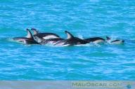 Dusky Dolphins em Kaikoura