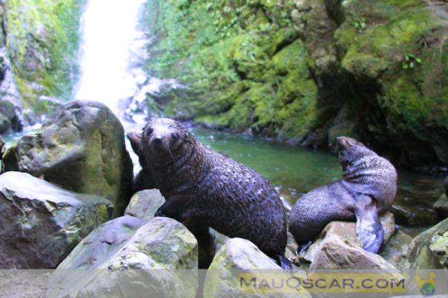 Filhotes de foca na cachoeira do Ohau Stream em Kaikoura